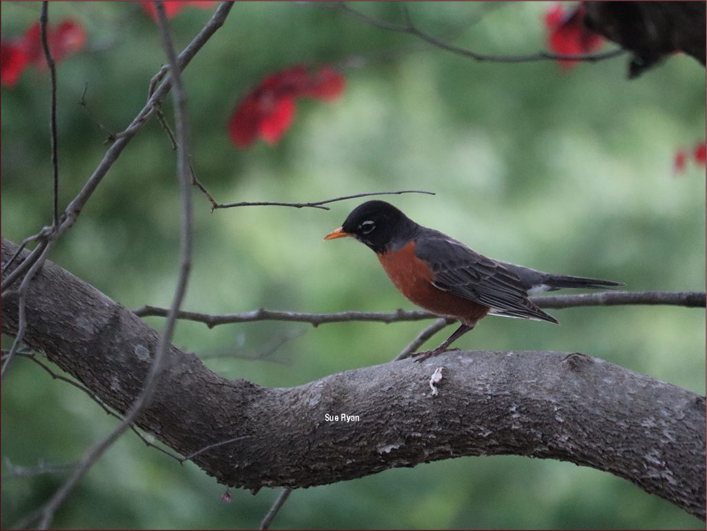 Raleigh Robin